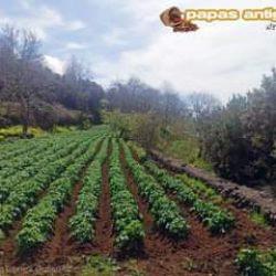 Hay zonas de medianías del norte de Tenerife donde las papas se encuentran aso…