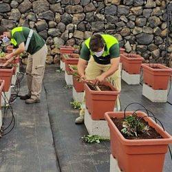 Un proyecto busca garantizar la conservación de la batata de Tenerife
