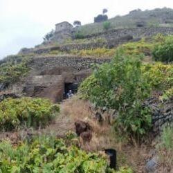 Vendimia en Anaga: impresionantes pendientes y veredas para el cultivo de la vid…
