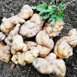 """Dentro del grupo de las batatas antiguas, encontramos la """"Rajadilla"""", clase o v…"""
